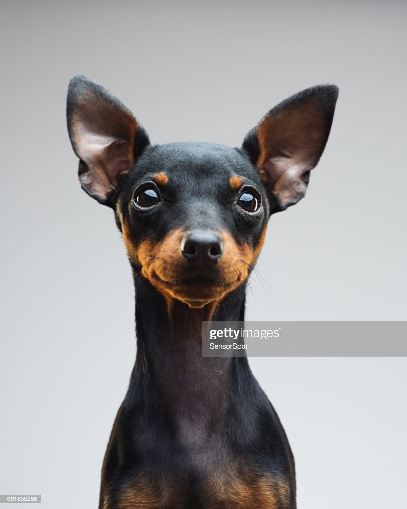 60 Top Miniature Pinscher Pictures Photos Images Getty Images