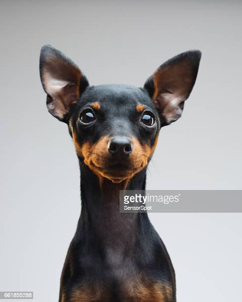 Cute puppy of miniature pinscher dog