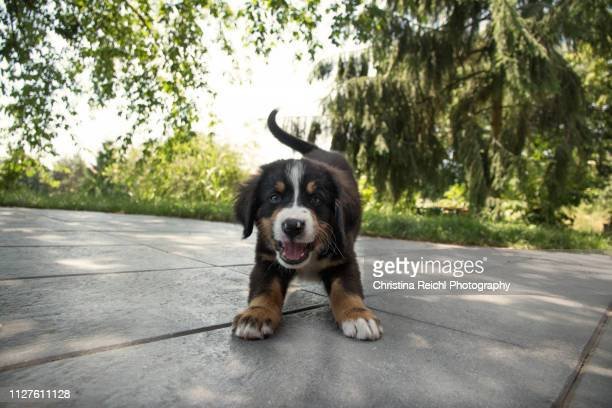 cute puppy on patio - puppy stock pictures, royalty-free photos & images