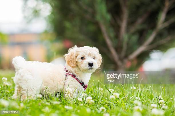 cute puppy outdoor - maltese dog stock pictures, royalty-free photos & images