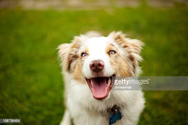 cute puppy - australische herder stockfoto's en -beelden