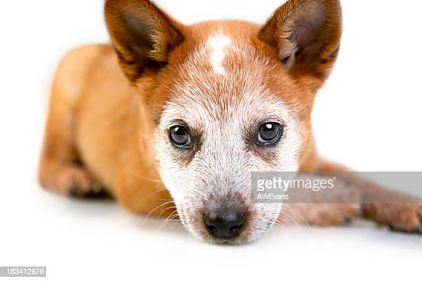 cute puppy - australian cattle dog stock pictures, royalty-free photos & images