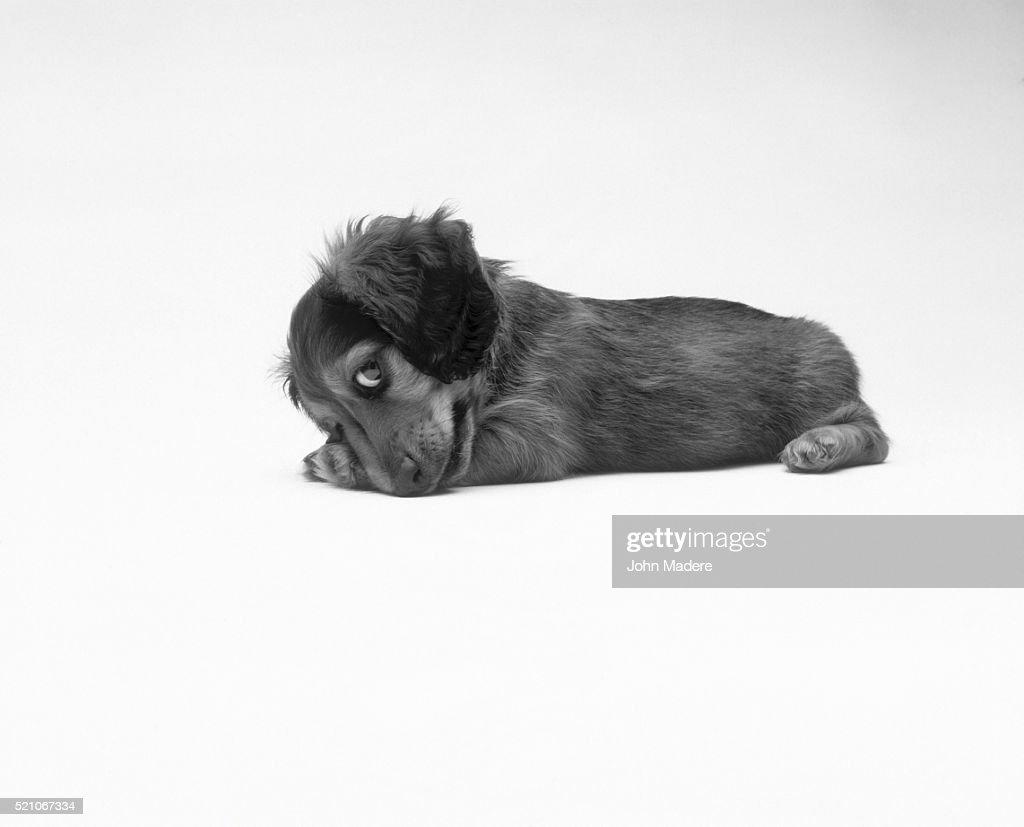 Cute puppy : Stock Photo
