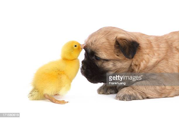 Cute puppy playing with a duckling on white background