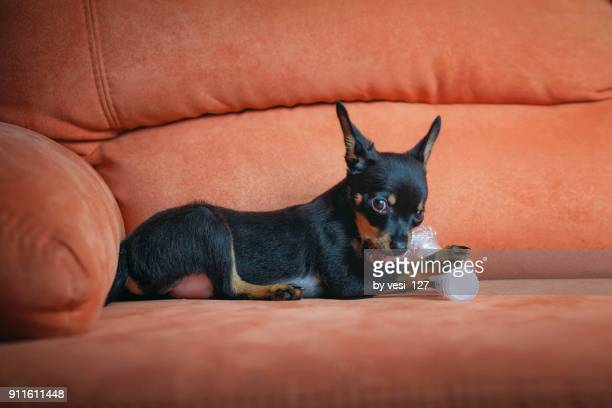 cute puppy playing with a water bottle - pinscher nano foto e immagini stock