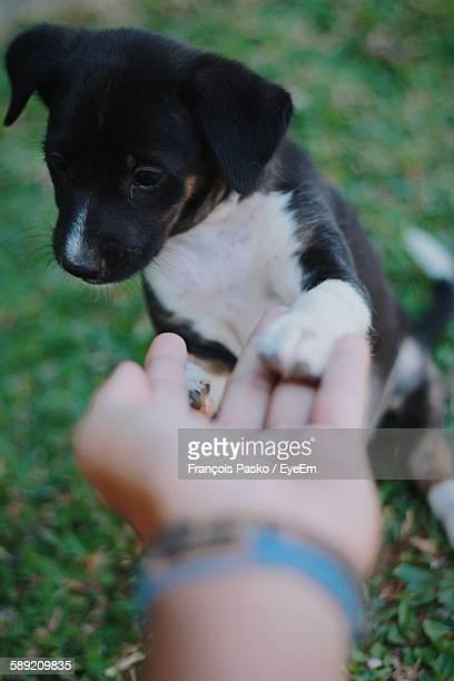 cute puppy shaking hand with person - paw stock pictures, royalty-free photos & images