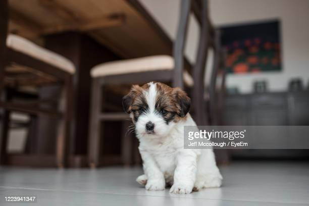 cute puppy sitting on floor at home - one animal stock pictures, royalty-free photos & images