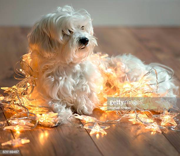 cute puppy surrounded by Christmas lights