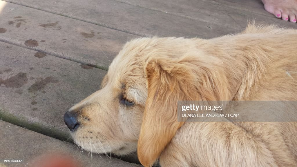 Cute puppy taking a nap : Stock Photo