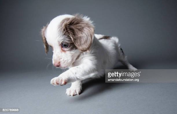 Cute Puppy - The Amanda Collection