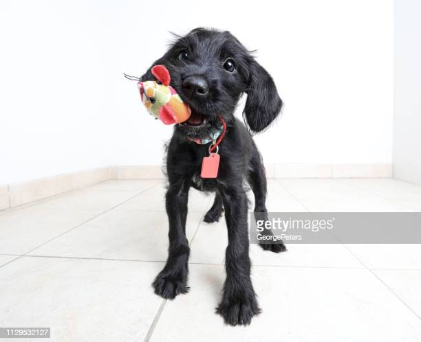cute puppy waiting to be adopted. miniature schnauzer, mixed-breed dog. - rescue stock pictures, royalty-free photos & images