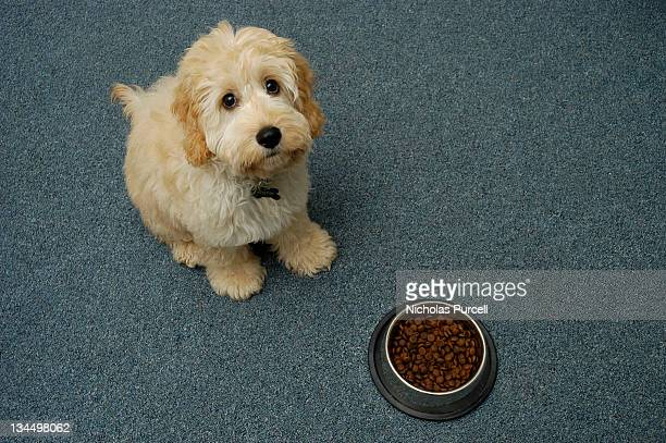 Cute puppy waiting to eat food