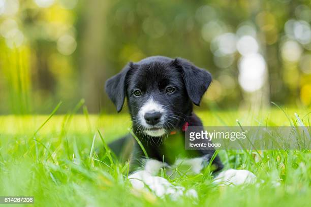 Cute purebred Border Collie puppy playing and training outdoors in the nature on a sunny day.
