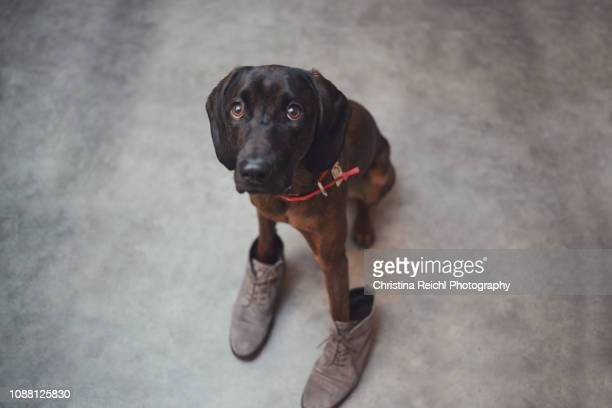 cute purebred dog wearing owner's shoes - caught in the act stock pictures, royalty-free photos & images
