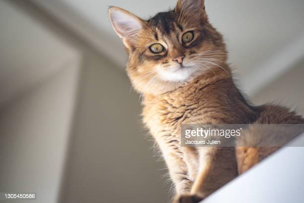cute purebred kitten portrait - oriental shorthair - fotografias e filmes do acervo