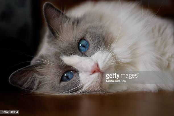 cute queen - ragdoll cat stock pictures, royalty-free photos & images
