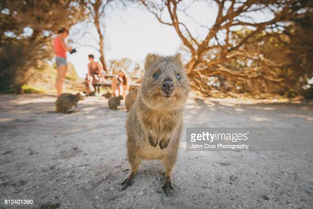 cute quokka - perth australia stock photos and pictures