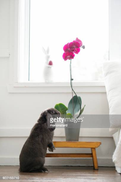 Cute rabbit ram smelling a plant in a bedroom during easter holidays