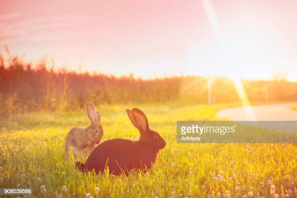 Cute rabbit with big ears outdoors in sunset
