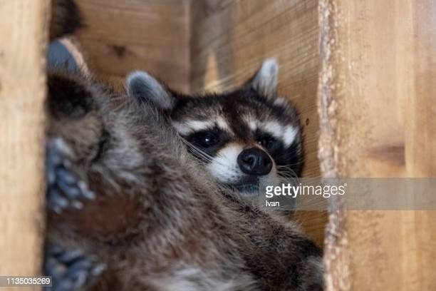 cute raccoon lays in wooden box looking at camera - animal finger stock photos and pictures
