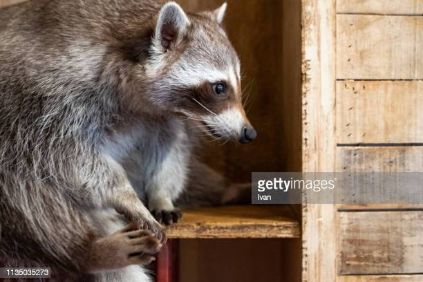 cute raccoon lays in wooden box - animal finger stock photos and pictures