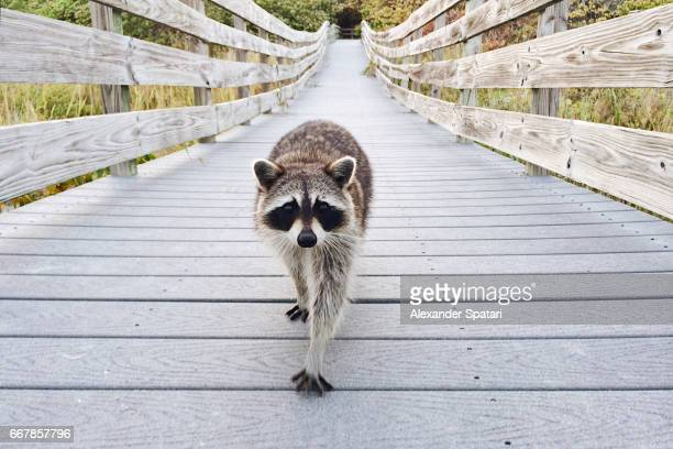 Cute raccoon walking on a boardwalk in Bill Baggs Cape Florida State Park towards camera