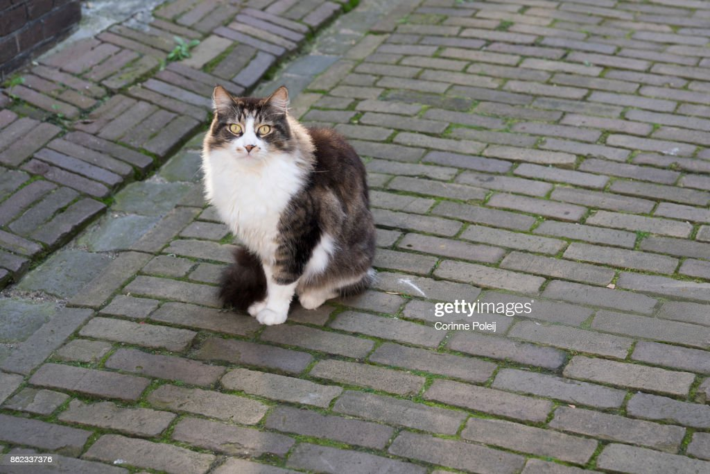 Cute Ragdoll Brown White Cat With Yellow Eyes In The Street On Bricks High Res Stock Photo Getty Images