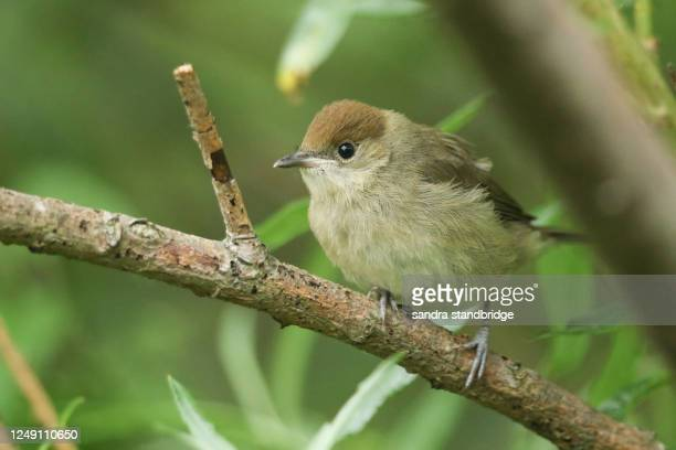 a cute recently fledged baby blackcap, sylvia atricapilla, perching on a branch of a willow tree. it is waiting for its parents to come back with food and feed it. - warbler stock pictures, royalty-free photos & images