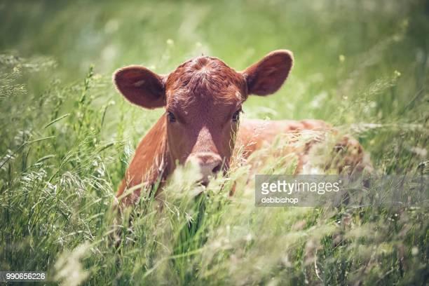 Cute Red Angus calf