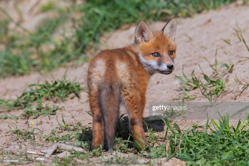 Cute red fox cub / kit looking backwards in spring  News Photo