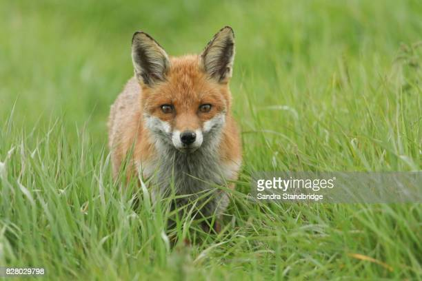 a cute red fox (vulpes vulpes) in a grassy field. - red fox stock photos and pictures