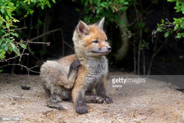Cute red fox kit scratching fur with hind leg