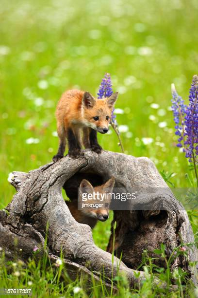 cute red fox pups play in field of flowers - mammal stock pictures, royalty-free photos & images