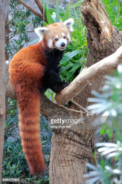 cute red panda - red panda stock pictures, royalty-free photos & images