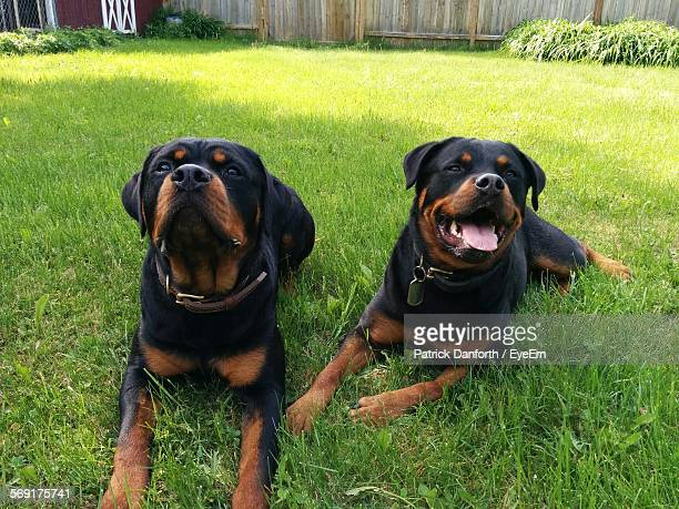 Cute Rottweiler Dogs On Lawn