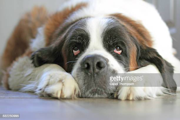 Cute Saint Bernard laying down.
