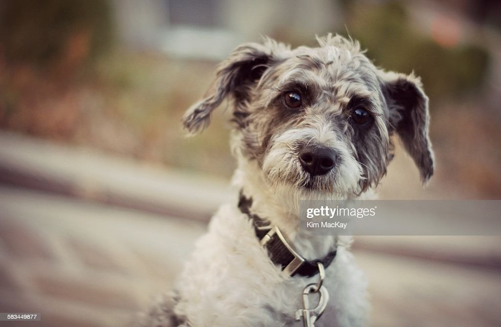 Cute Schnauzer dog : Stock Photo