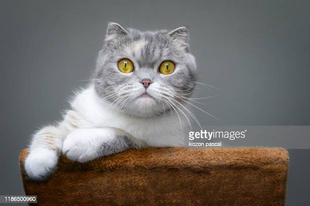cute scottish fold cat is resting on a cat tree . - whisker stock pictures, royalty-free photos & images