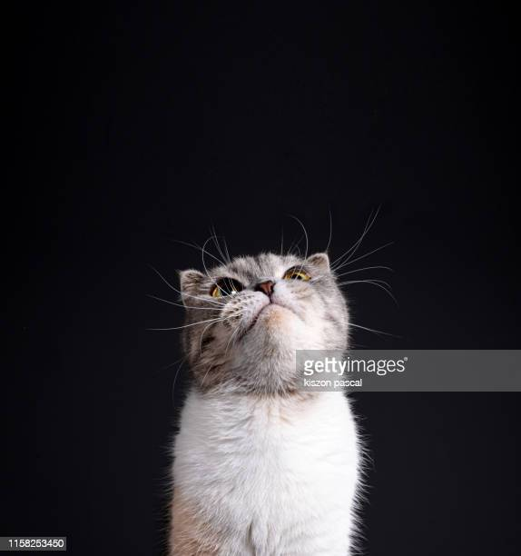 cute scottish fold cat on black background - hairy asian stock pictures, royalty-free photos & images