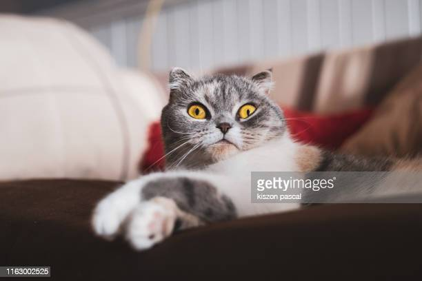 cute scottish fold cat resting on the sofa . - domestic cat stock pictures, royalty-free photos & images