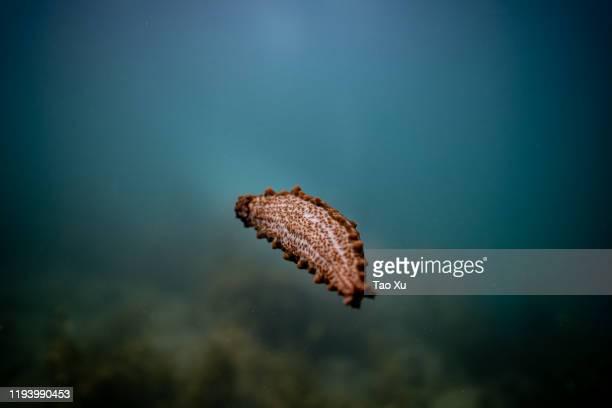 cute sea cucumber floating around - représenter photos et images de collection