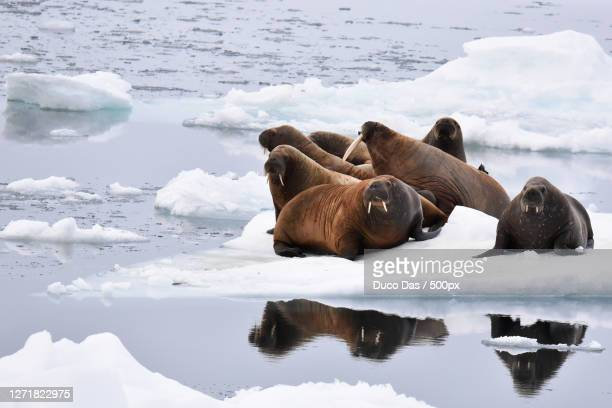cute seals in winter coat lying on the beach with her mother and breastfeeding her baby, longyearbyen, svalbard and jan mayen islands - svalbard and jan mayen stock pictures, royalty-free photos & images