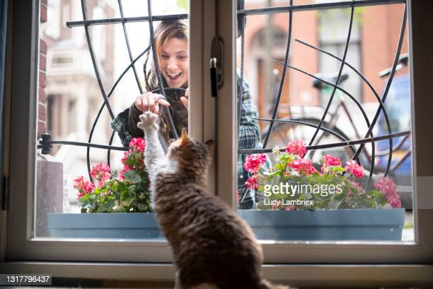 cute selkirk rex cat standing on his hind legs, reaching for his human who is on the other side of the window - north holland stock pictures, royalty-free photos & images