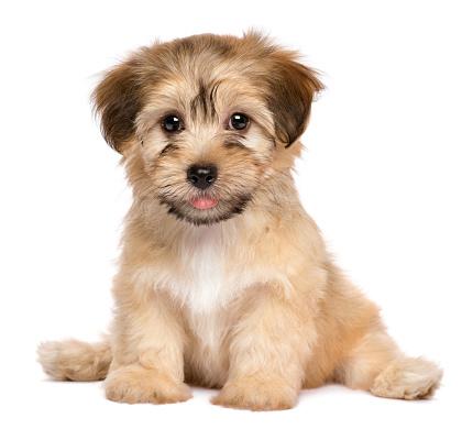 Cute sitting havanese puppy dog 611308904