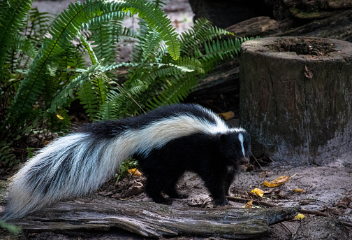 Cute skunk with long fluffy tail 512490992