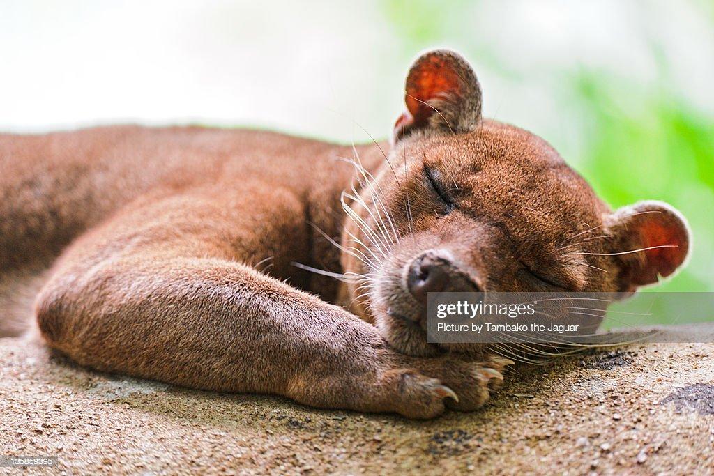 Cute sleeping fossa : Stock Photo