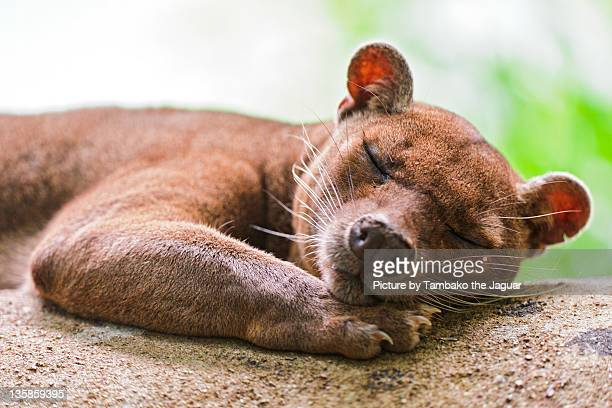 cute sleeping fossa - fossa stock photos and pictures