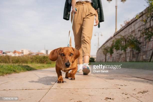 cute small dachshund dog enjoying sunny autumn walk on a quayside with his female owner - fascinante imagens e fotografias de stock