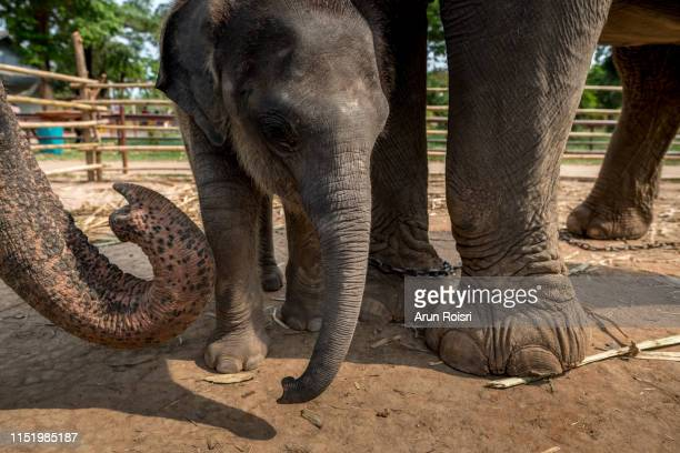 Cute small infant asian elephant in playing with it's mother at a tourist elephant camp in northern Thailand, Southeast Asia
