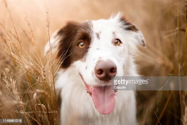 かわいい笑顔の犬ヘッドショットポートレート - 突き出た鼻 ストックフォトと画像